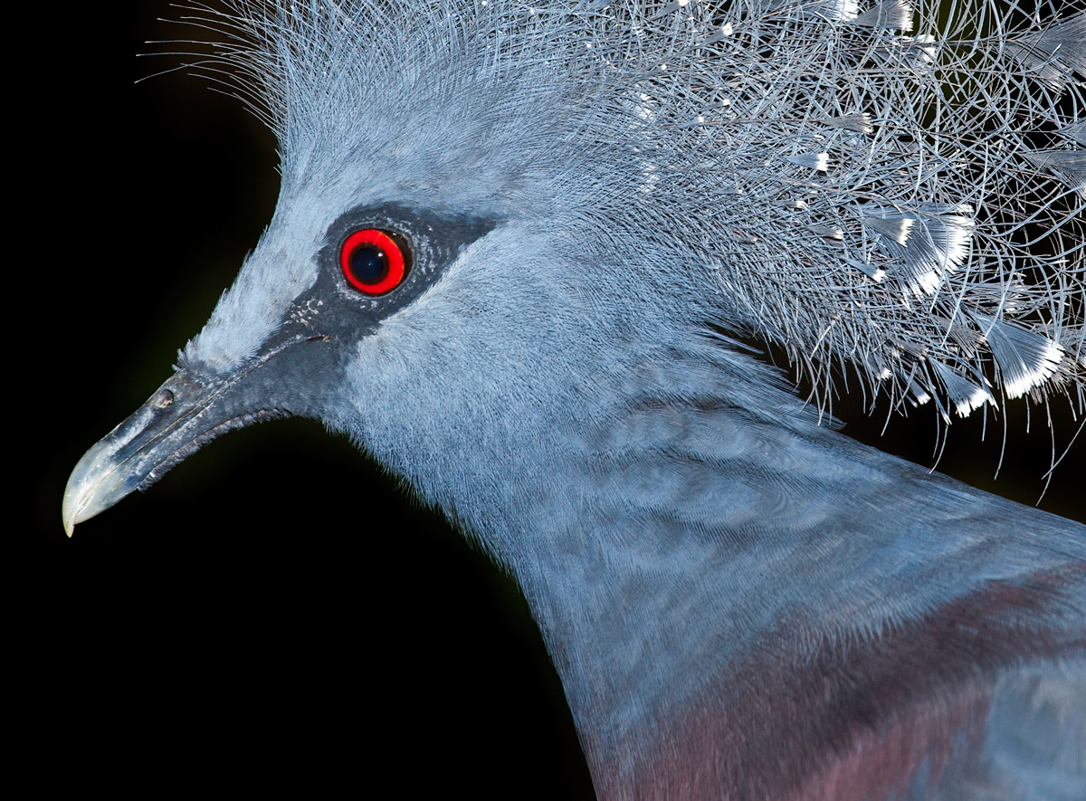 The pigeon's blood color is sometimes compared to the color of a live pigeon's eye. Click on the photo for a larger image.