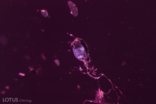 When we saw several metallic crystals in the interior of this spinel we became curious as to their identity. Micro Raman analysis revealed that they are graphite.