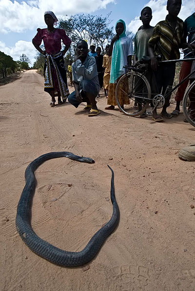 A black mamba in Tanzania's Tunduru district, just past its expiry date. Photo © Richard W. Hughes